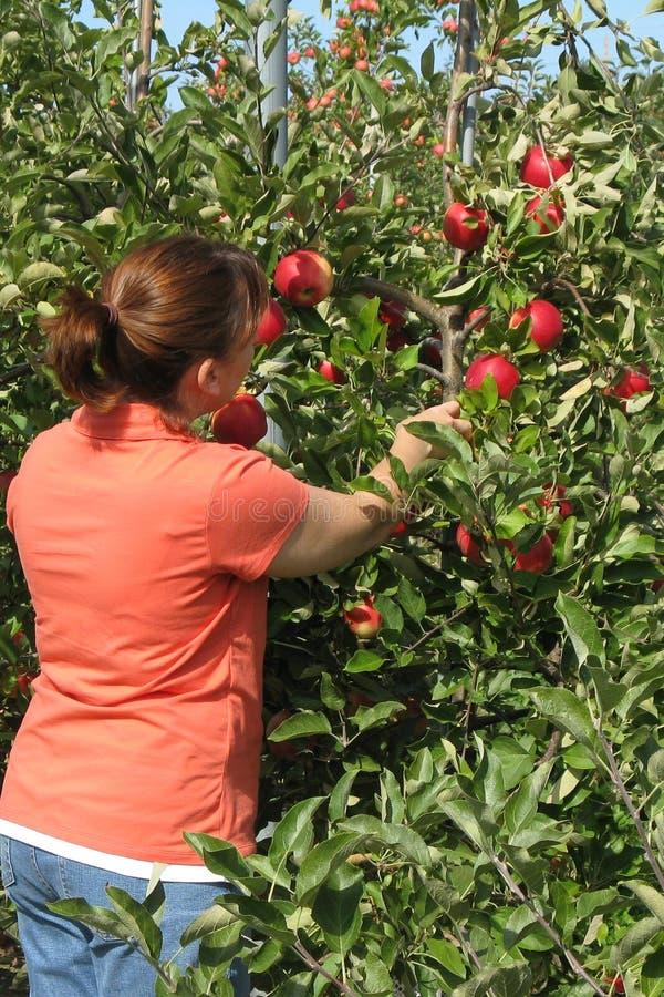 Pomme de cueillette de femme d'arbre photo stock