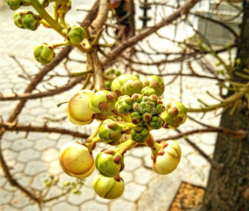 Pomme de Custurd photos stock