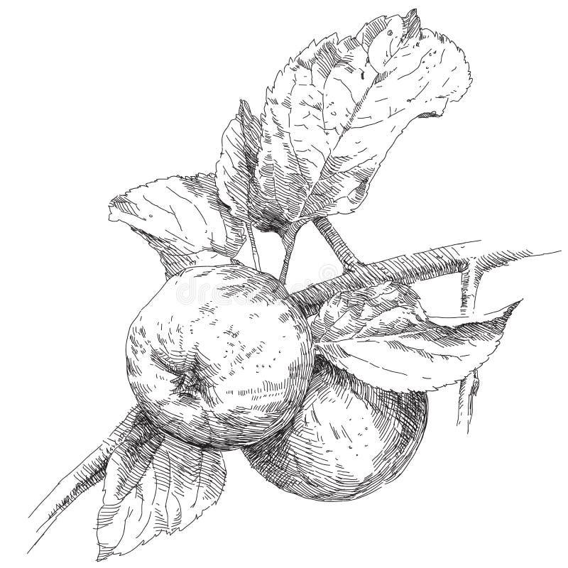 Pomme de dessin de main sur la branche illustration de - Dessin de la main ...