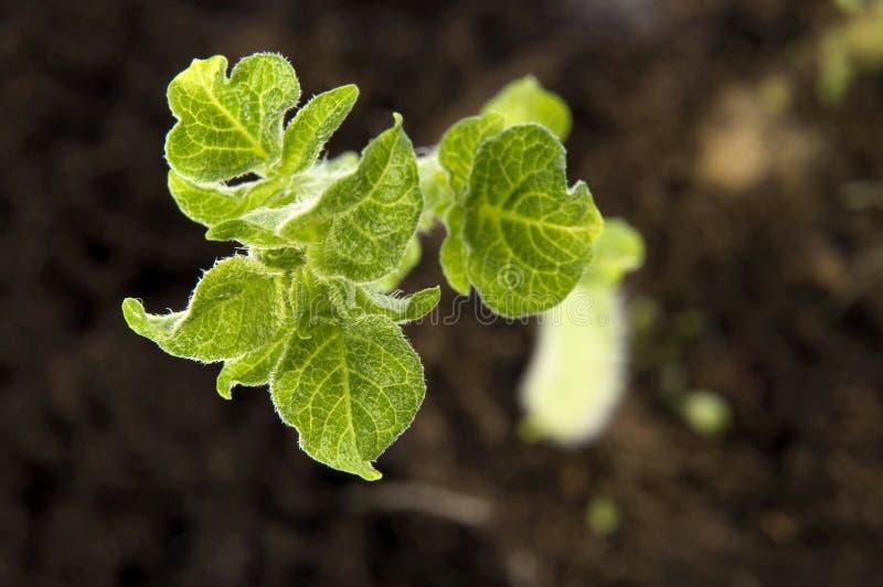 Pomme de terre croissante. centrale de chéri photo libre de droits