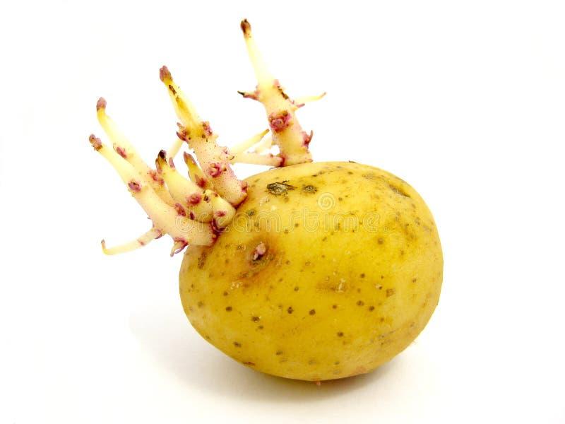 Pomme de terre de germination photographie stock libre de droits