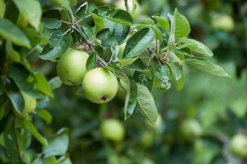 pomme jaune dans le pommier dans un jardin image libre de droits