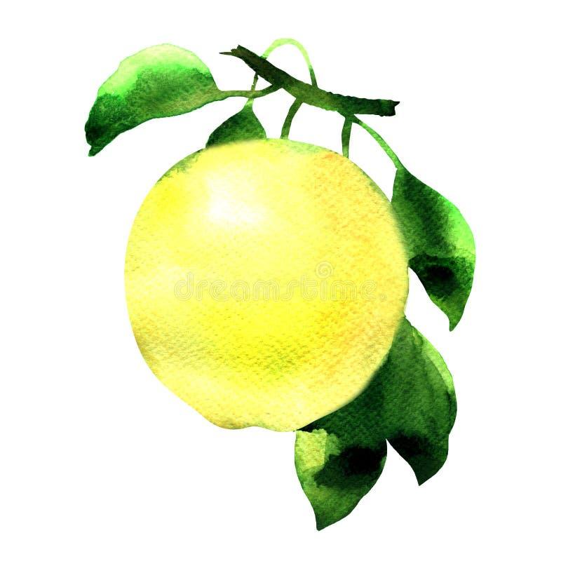 Pomme jaune mûre sur une branche avec les feuilles vertes, fruit frais juteux d'isolement, illustration tirée par la main d'aquar illustration de vecteur