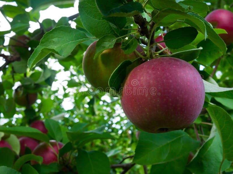Pomme mûre sur l'arbre images stock