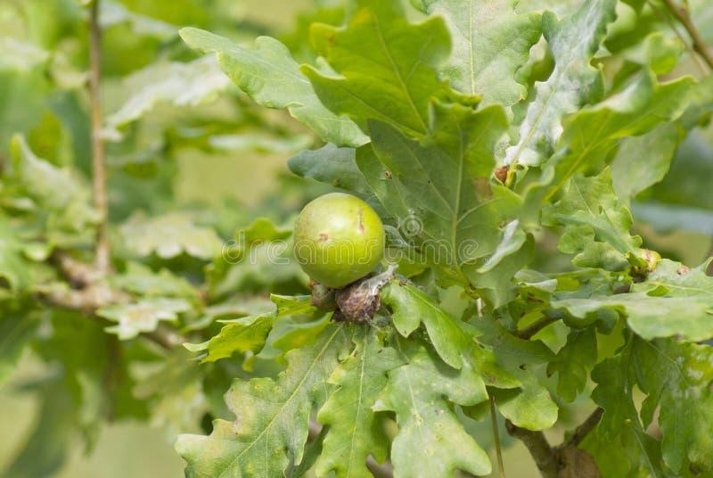 Pomme ou écorchure de chêne photographie stock libre de droits