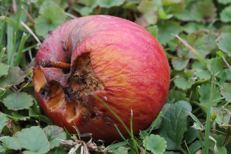 Pomme putréfiée sur la terre photo libre de droits
