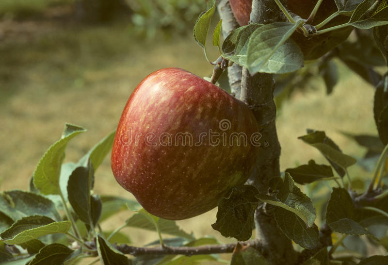Pomme red delicious sur un arbre photo libre de droits
