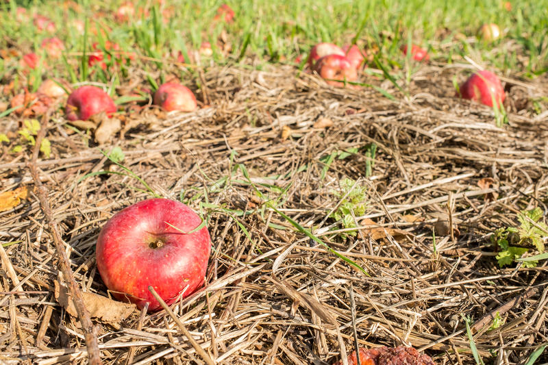 Pomme rouge comme ventis image stock