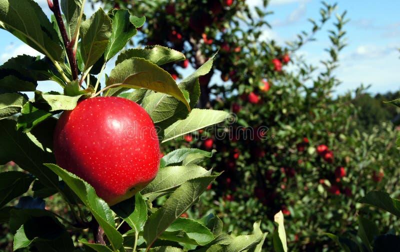 Pomme rouge de gala photo stock
