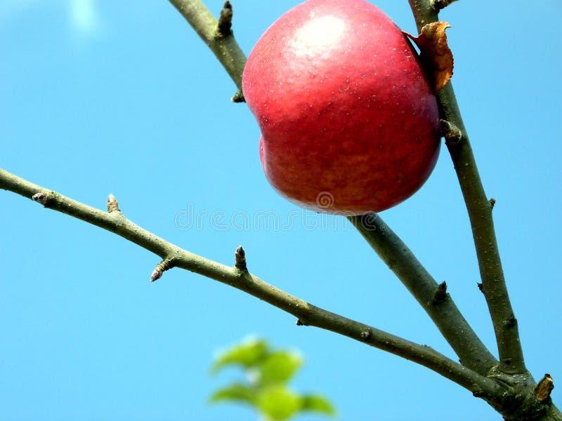 Pomme rouge-foncé simple devant le ciel bleu photos stock