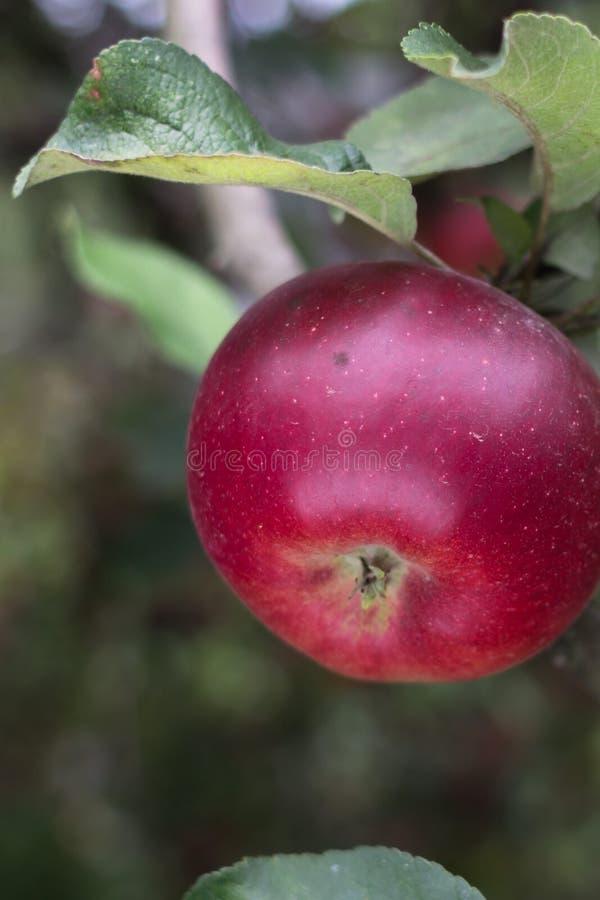 Pomme rouge sur le pommier photo libre de droits