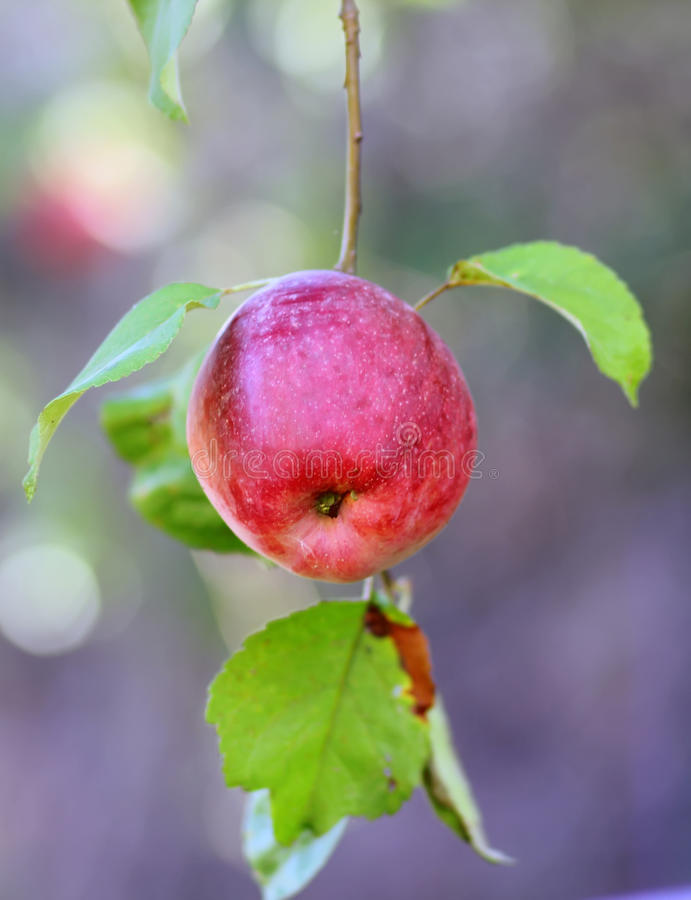 Download Pomme rouge sur un arbre photo stock. Image du brouillé - 45356288