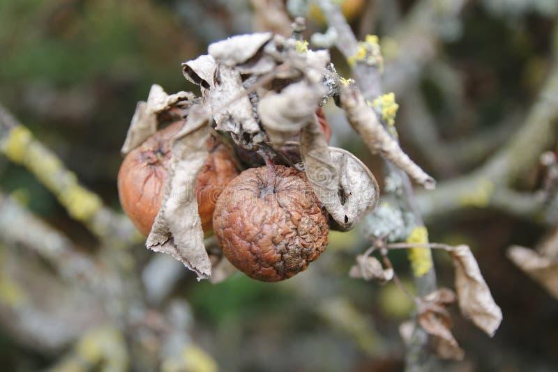 Pomme sèche avec les feuilles sèches, sur une branche cassée de pommier images libres de droits