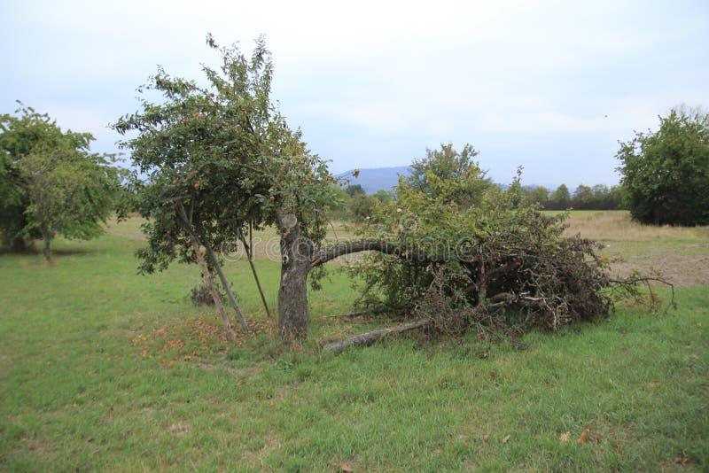 Pomme sèche avec les feuilles sèches, sur une branche cassée de pommier photographie stock libre de droits