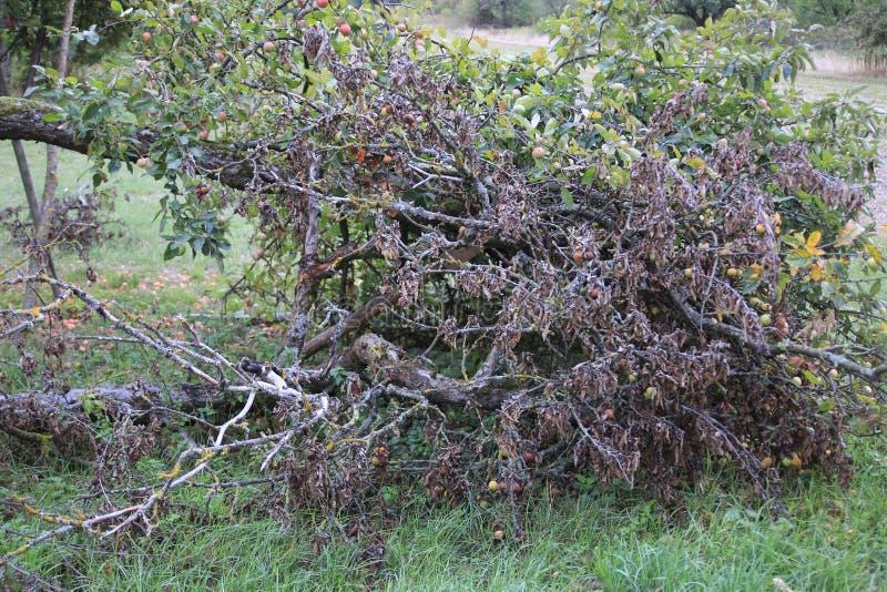 Pomme sèche avec les feuilles sèches, sur une branche cassée de pommier image libre de droits