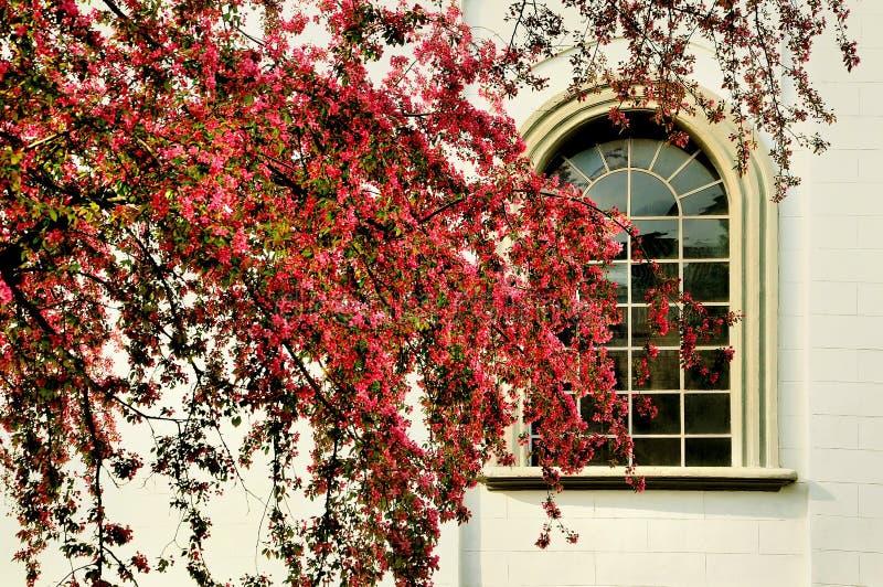 Pomme sauvage Malus avec la grande fenêtre de filigrane images libres de droits