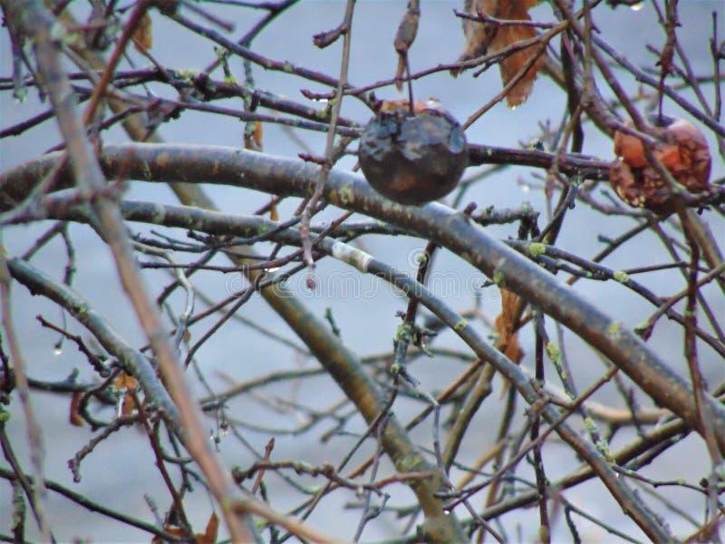 Pomme surgelée sur l'arbre en hiver photo libre de droits