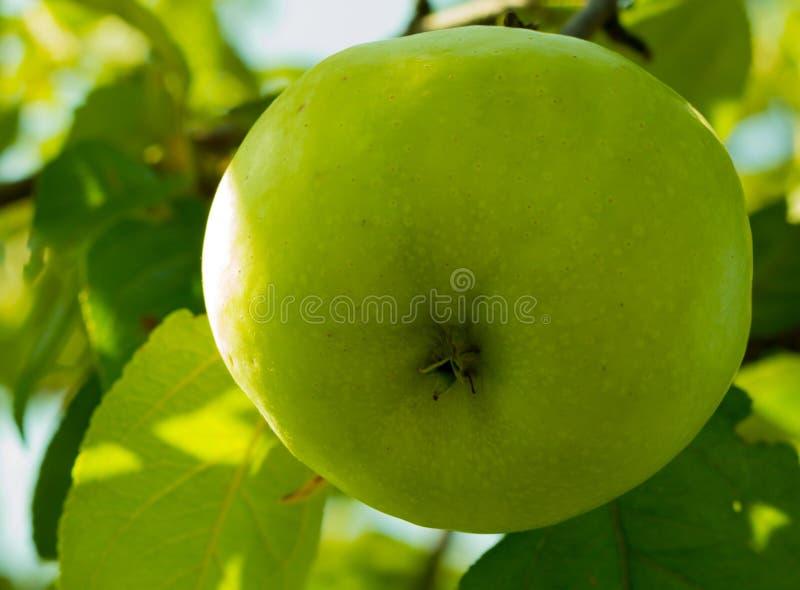 Pomme vert clair juteuse mûre mûrissant sur l'arbre dans le jardin image stock