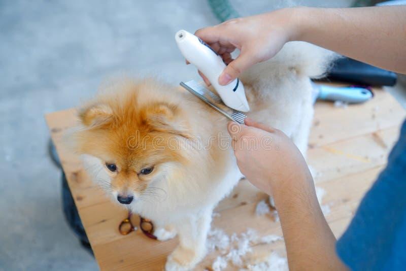 Pommeren hondshond op de tafel van buitenshuis proces van het definitief afknippen van het haar van een hond met schaar salon voo stock fotografie