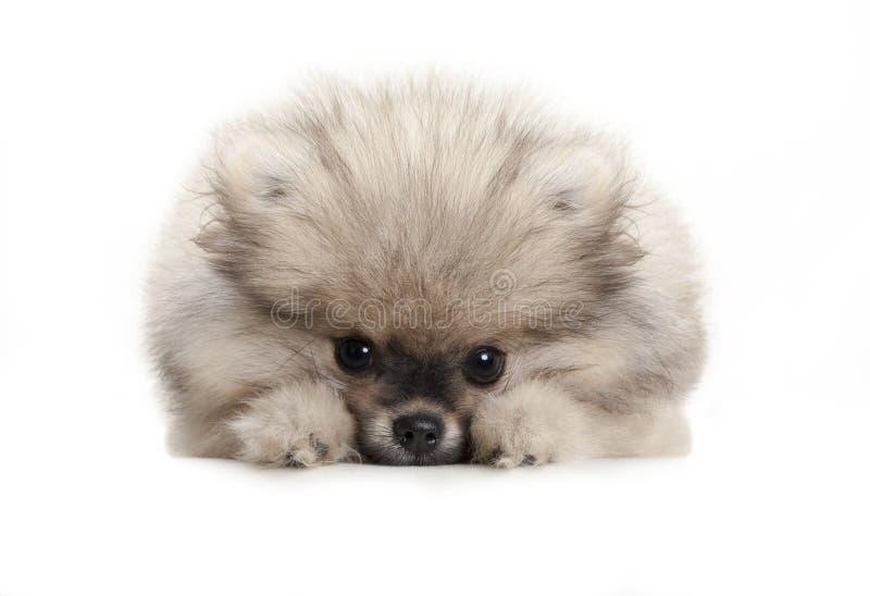 Pommerner Hundehund, der auf weißem Boden liegt und schüchtern aussieht lizenzfreie stockbilder