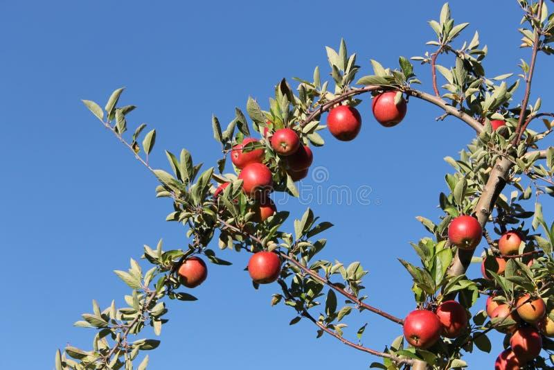 Pommes d'empire à Harvard, le Massachusetts photos libres de droits