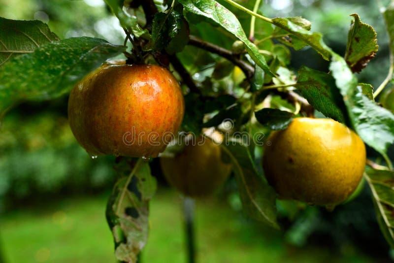 Pommes d'or mûres de présure accrochant toujours sur l'arbre en septembre image stock