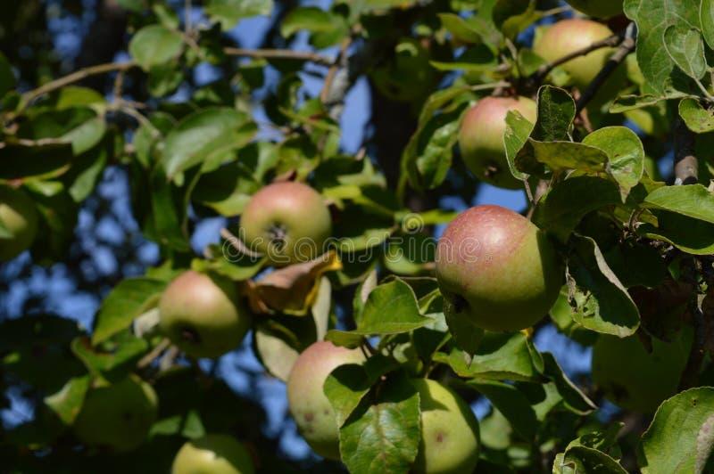 Pommes dans le jardin photographie stock
