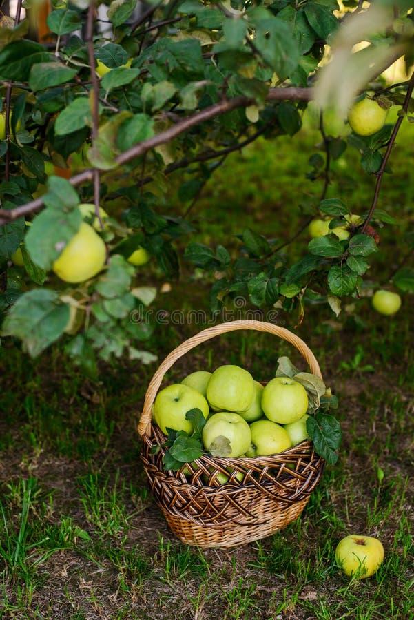 Pommes dans le panier images stock