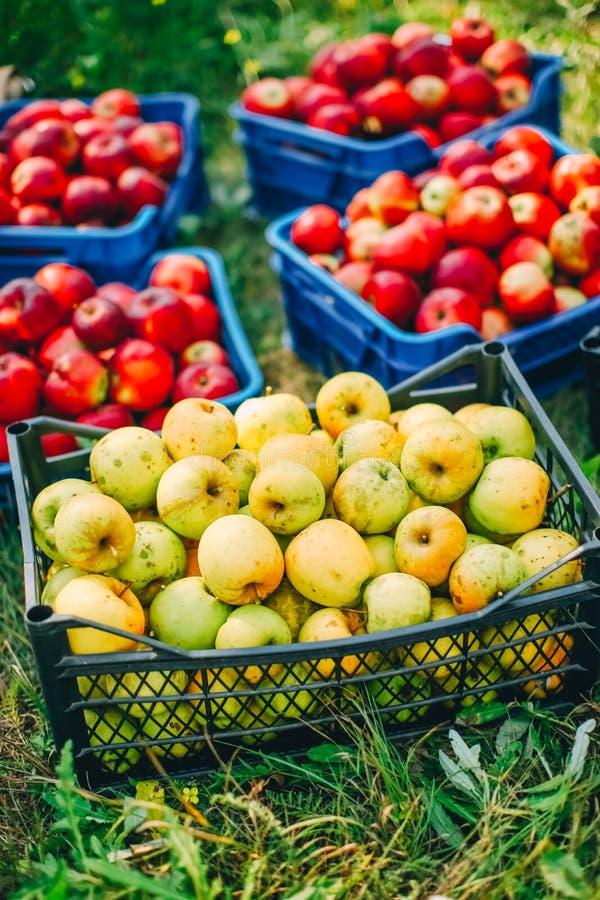 Pommes dans un cadre photo stock
