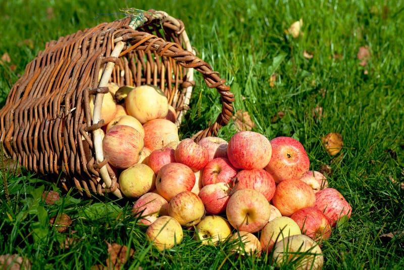 Pommes dans un panier images libres de droits