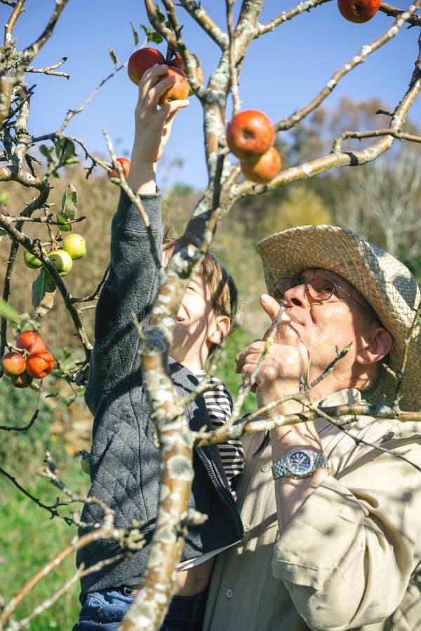 Pommes de cueillette d'homme supérieur et d'enfant d'arbre photographie stock