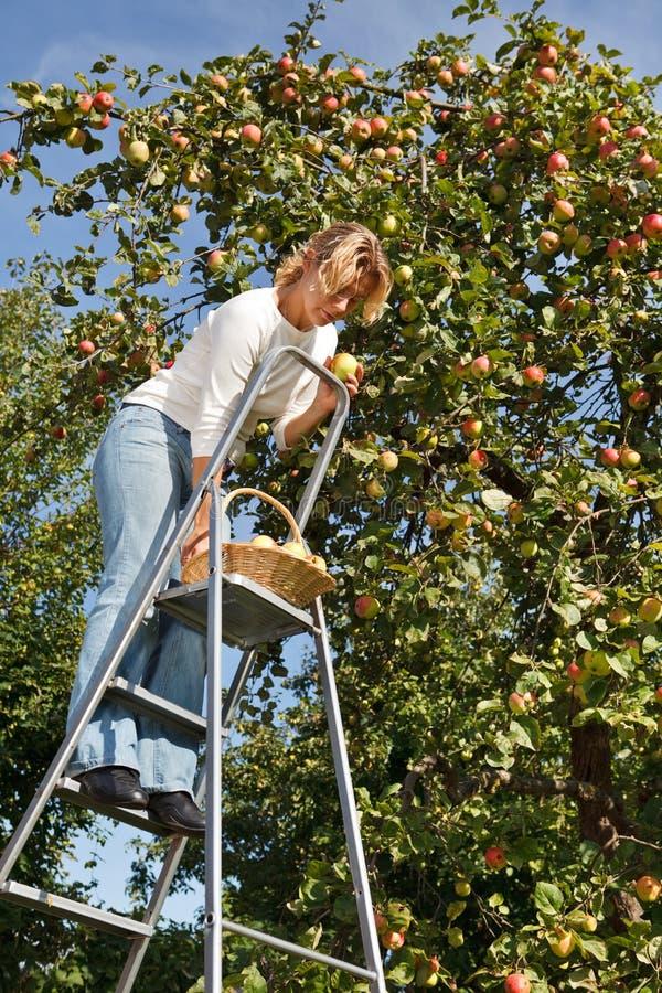 Pommes de cueillette de femme image libre de droits