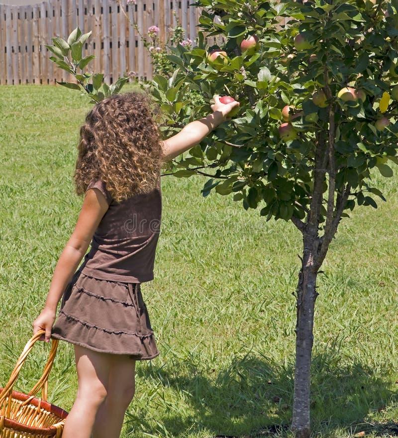 Pommes de cueillette de petite fille photographie stock