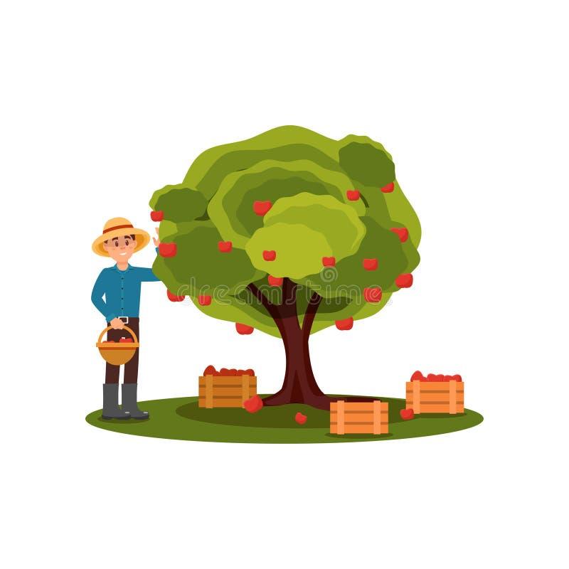 Pommes de cueillette de jeune homme dans le panier Agriculteur travaillant dans le jardin Arbre fruitier Boîtes en bois avec la c illustration de vecteur