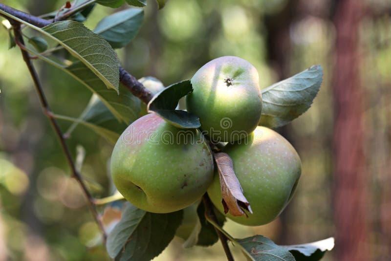 Pommes de maturation photos stock
