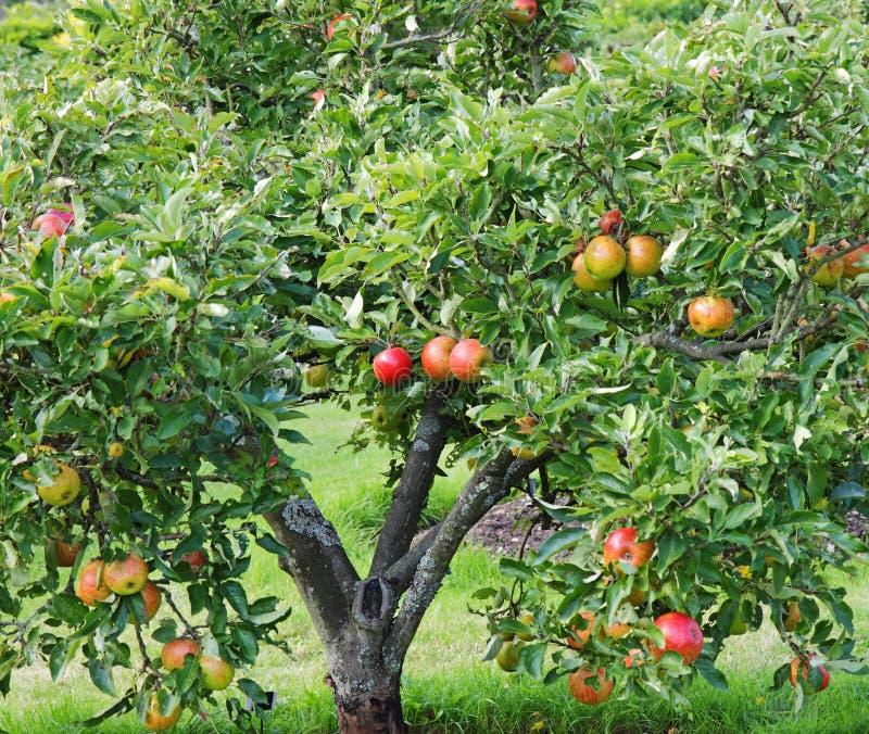 Pommes de maturation sur un arbre images libres de droits
