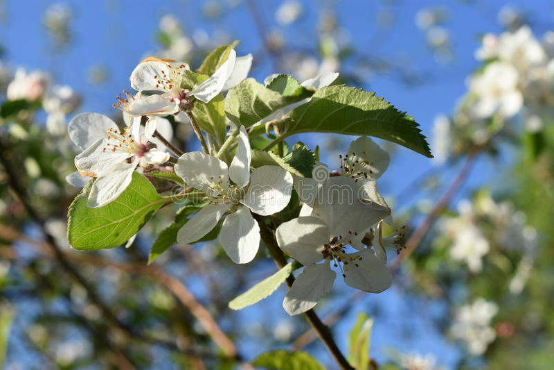 Pommes de Rome en pleine floraison photographie stock