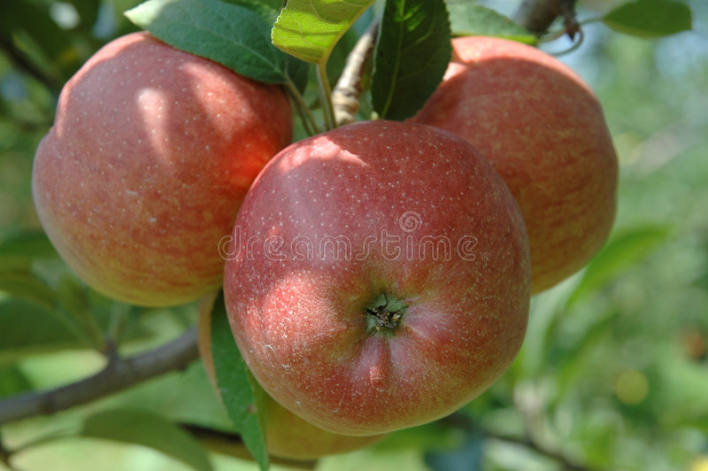 Download Pommes de rouge d'arbre photo stock. Image du pommes, juteux - 71268