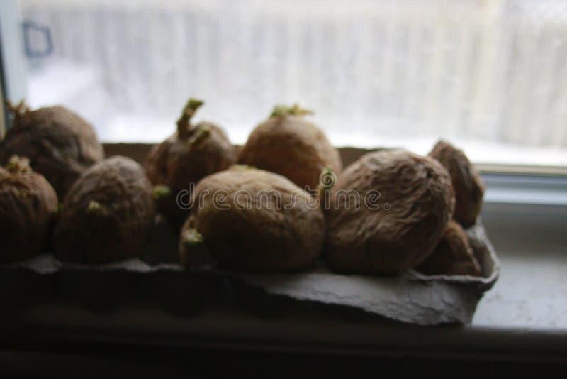 Pommes de terre de Chitting devant le rebord de fenêtre à se préparer à la plantation de ressort images libres de droits