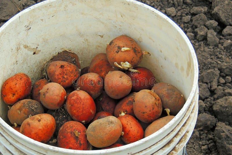 Pommes de terre dans des seaux photos libres de droits