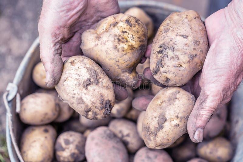 Pommes de terre fraîches dans de vieilles mains pluses âgé du ` s d'agriculteur au-dessus du seau Image modifiée la tonalité images libres de droits