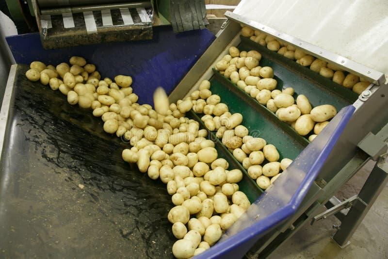 Pommes de terre fraîches, nettoyées et assorties sur une bande de conveyeur image libre de droits