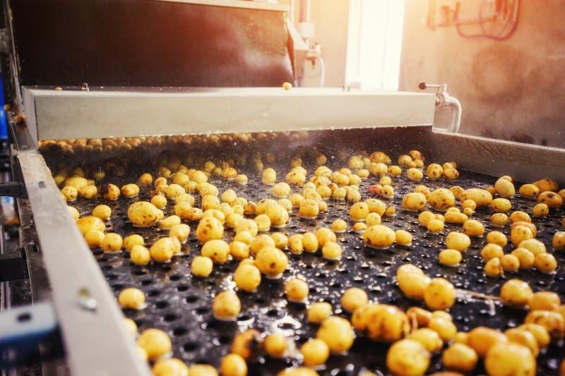 Pommes de terre nettoyées sur une bande de conveyeur, préparée pour l'emballage photo libre de droits