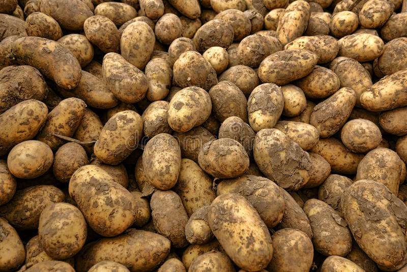 Pommes de terre organiques naturelles en vrac à l'agriculteur Market image stock