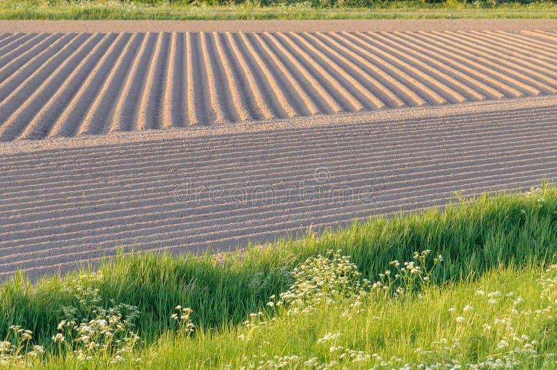 Pommes de terre de primeurs s'élevant dans les rangées du sol labouré photo libre de droits
