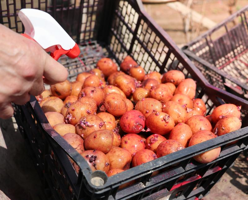 Pommes de terre qui sont poussées images libres de droits