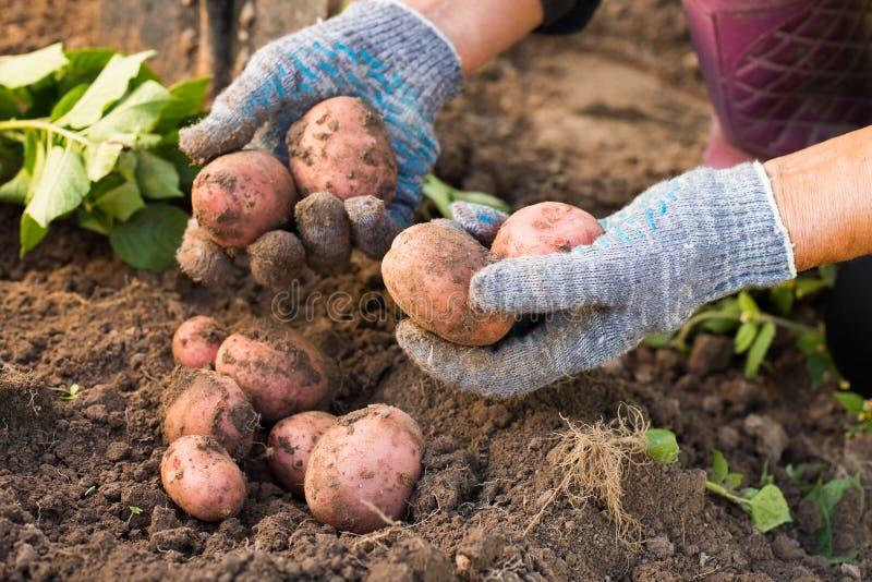 Pommes de terre rouges fraîches dans des mains de femme agée creusées hors de la terre photo stock