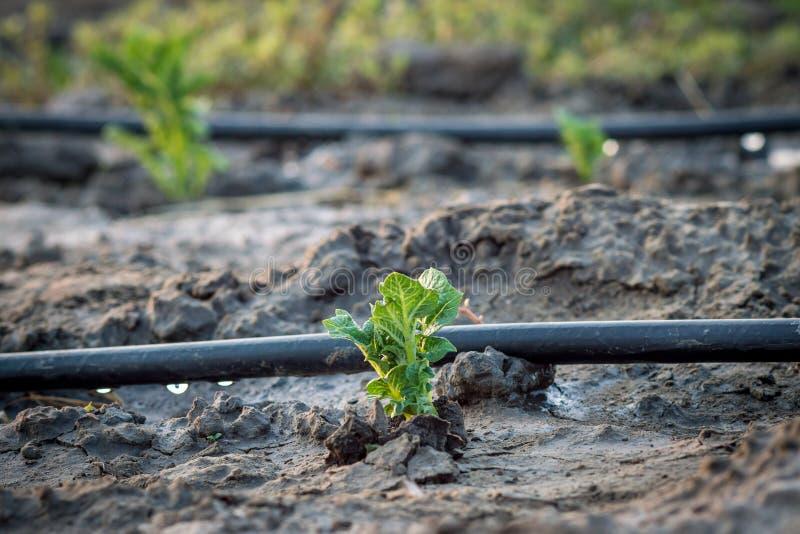 Pommes de terre sur le fond d'une irrigation de baisse photos libres de droits