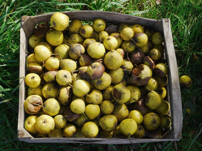 Pommes de ventis images stock