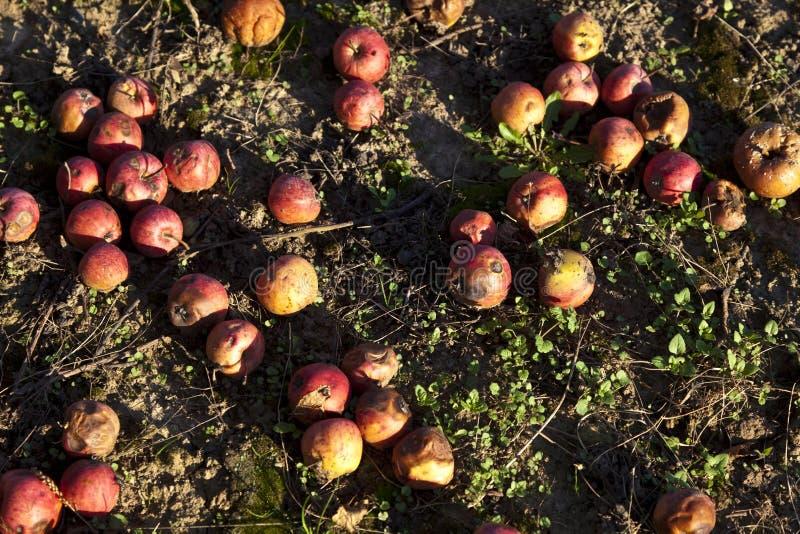 Pommes de ventis image stock